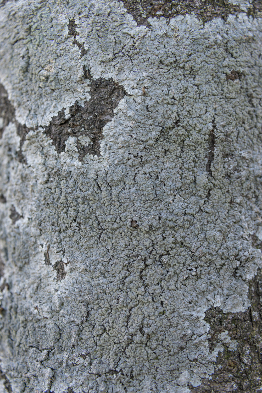 コフキヂリナリア(桜の樹幹上)〈埼玉県行田市〉
