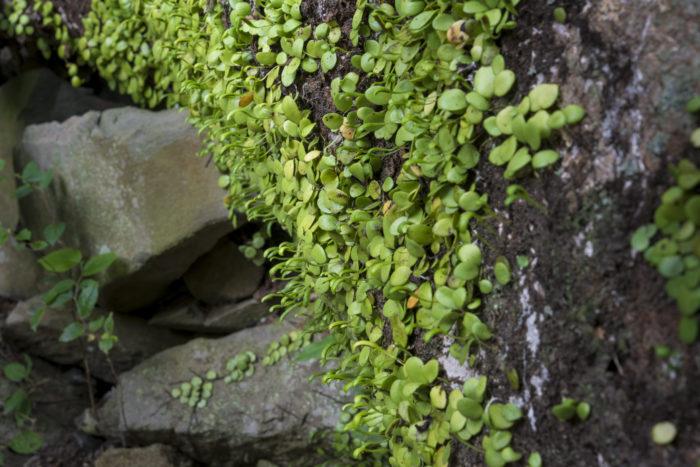 マメヅタ(シダ植物)(福岡県福岡市)