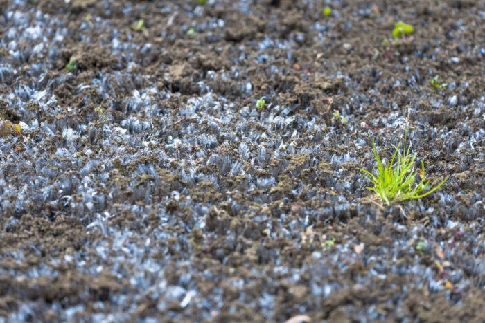 霜柱と草(横)