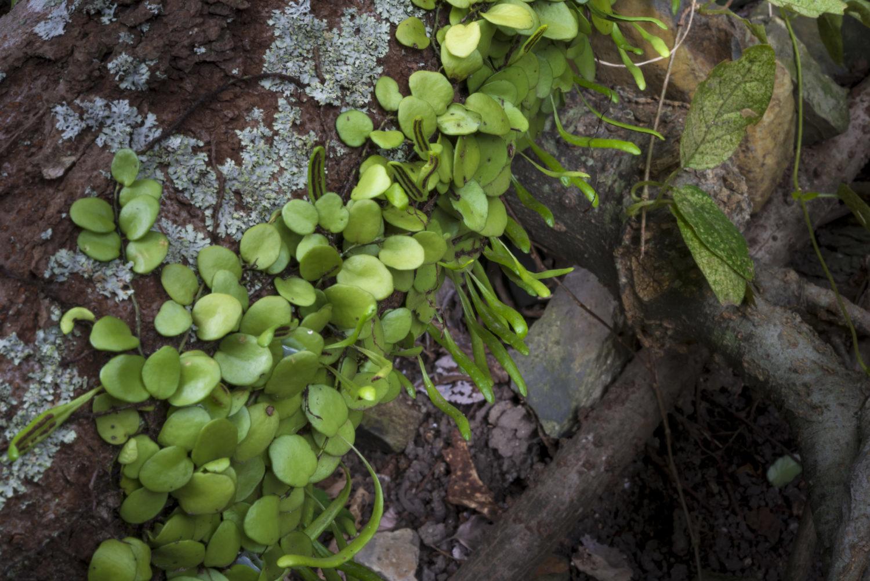 マメヅタ(シダ植物)(福岡県福岡市)4